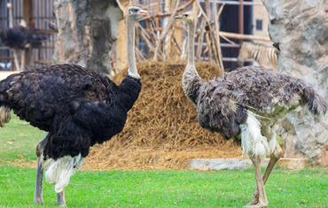 Экскурсия на страусиную ферму для детей (школьников) «Птица Удачи» - Оренбург